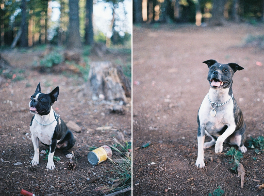 Film portraits of Sammie and Olive - the Boston Terriers