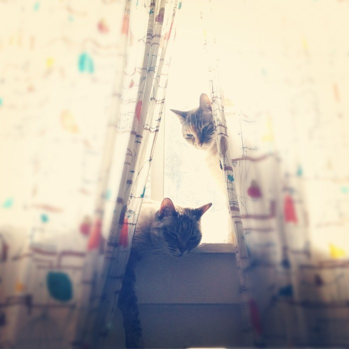 Two lazy cats sitting in a window peeking out from curtains with little birds in cages on them.