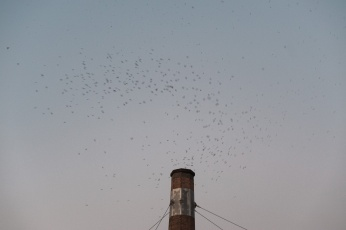 Thousands of Swifts descend into a chimney at dusk. Chapman School Swifts captured by photographer Briana Morrison